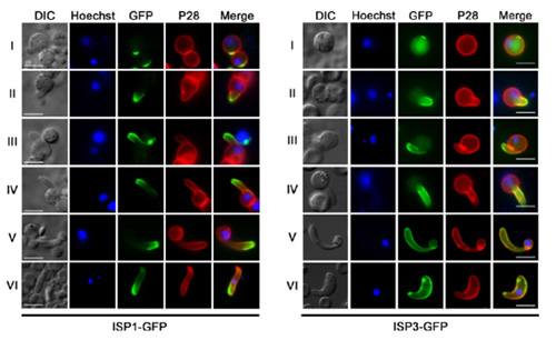 Two ISP genes that early marker for apical polarity in zygote development